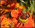 Helenium & Honigbiene