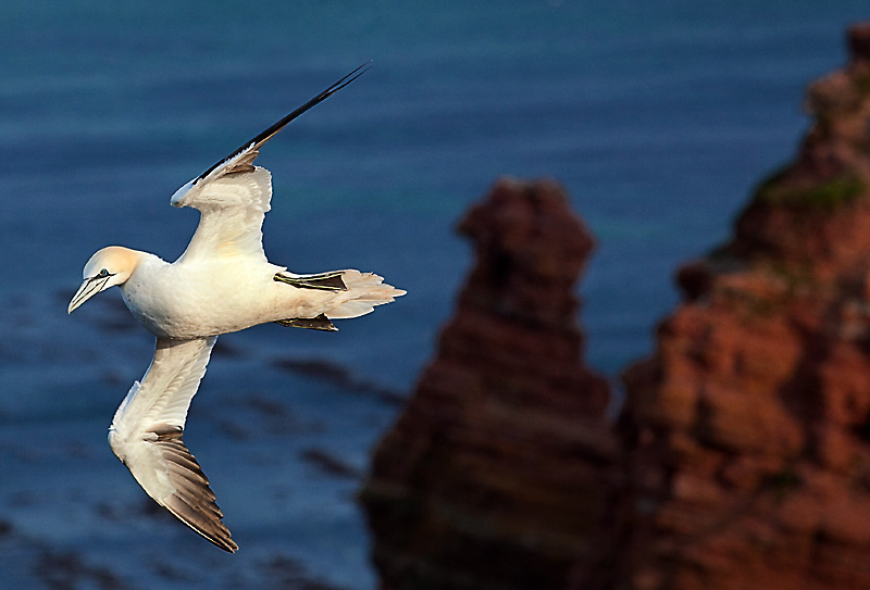 Helgoland Fototour Naturfotografie - Basstölpel - Steilküste