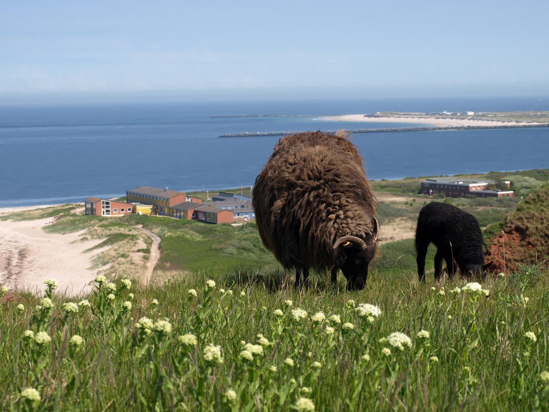 Helgoland und seine Schafe