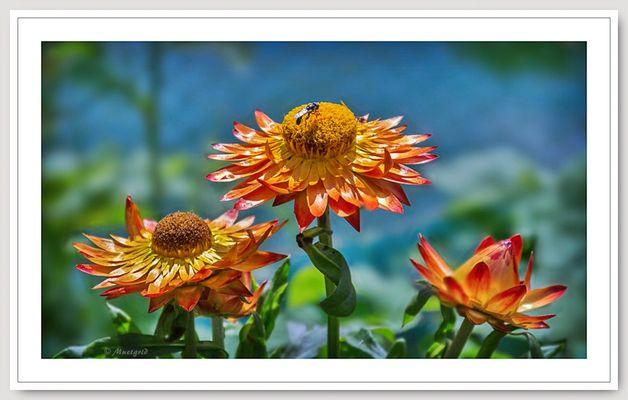 ~ Helichrysum ~