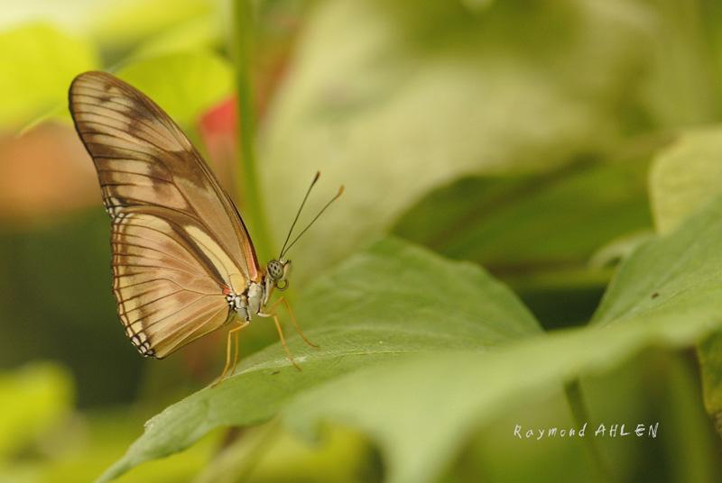 Héliconiidae