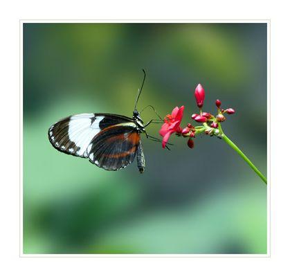 Heliconius cydno - Passionsblumenfalter