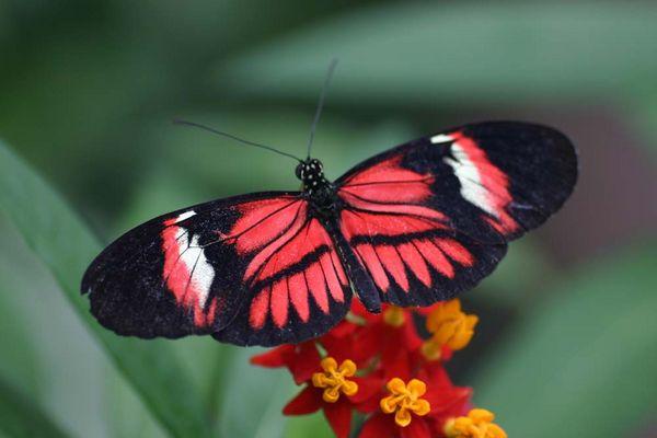 Helioconius, Südamerika