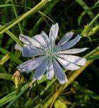 Hellblaue Blüte