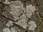 Helle Kuchenflechte (Lecanora chlarotera)