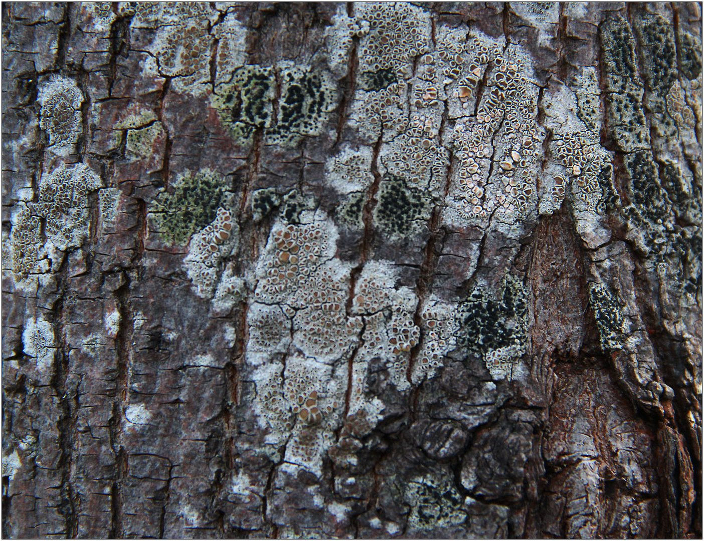 Helle Kuchenflechte (Lecanora chlarotera) + Olivgrüne Schwarznapfflechte
