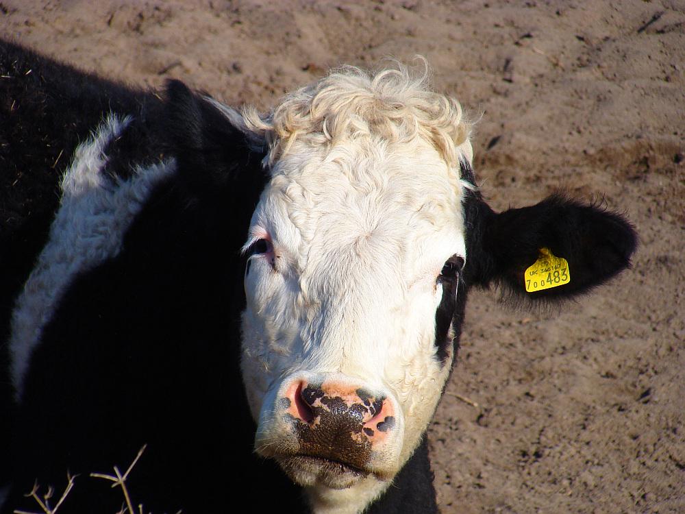 Hello, I´m a cornish Cow
