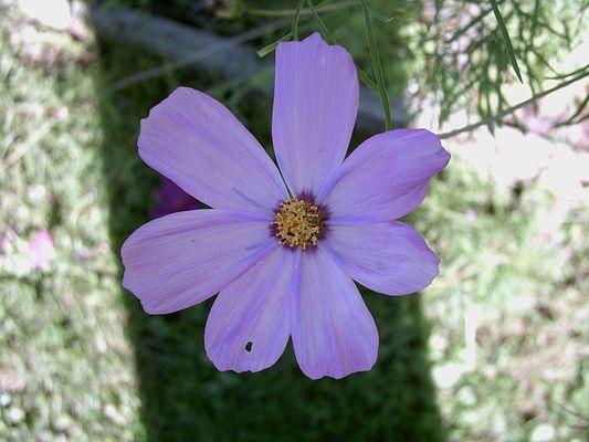 hellviolette Blume im Schatten