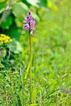 Helm-Knabenkraut (Orchis militaria) 1