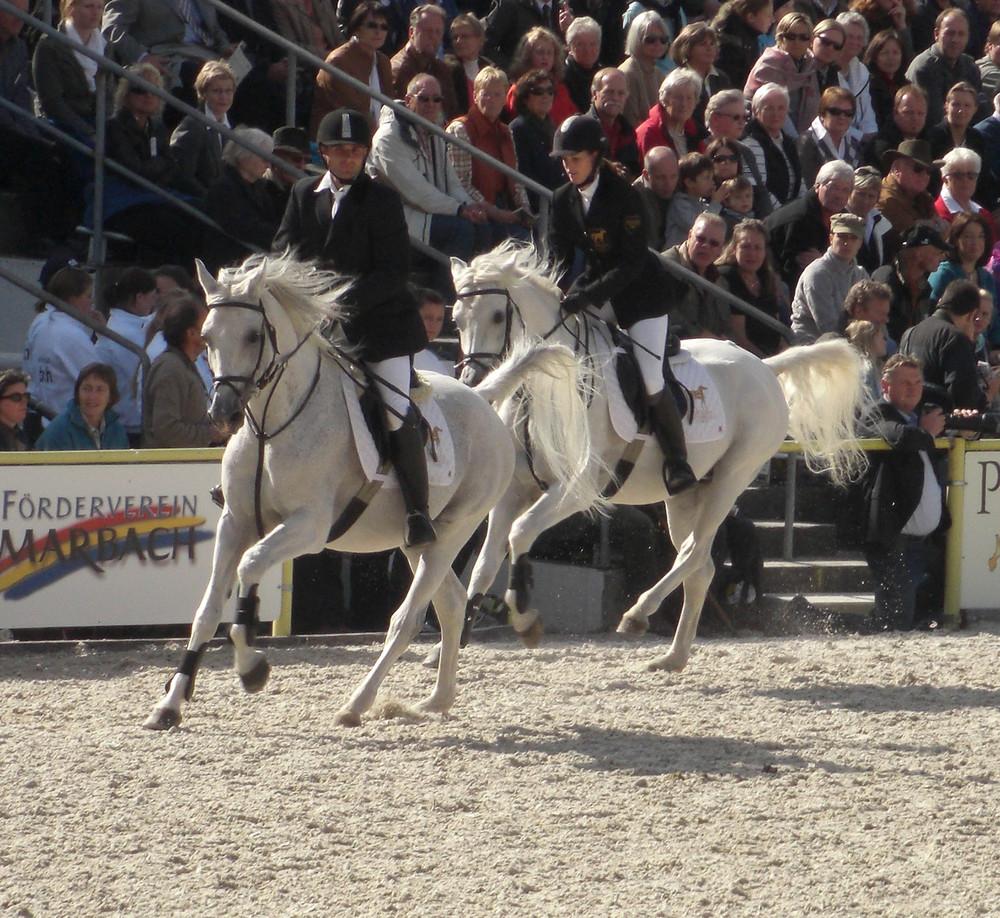 Hengstparade Marbach 09 weiße Pferde mit schwarzen Reitern