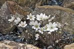 Hepatica nobilis alba - Weißes Leberblümchen