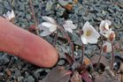 Hepatica nobilis albe und was für den Botaniker und Kriminalisten, bei...