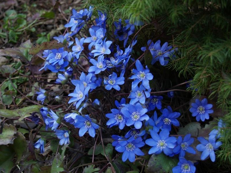 Hepatica nobilis-blue floweret