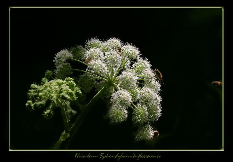 HeracleumSphondyliumInflorescence