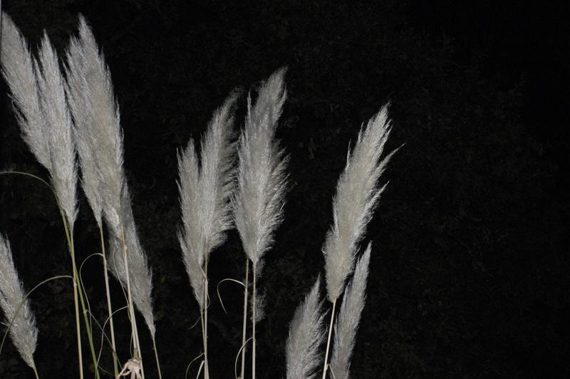 Herba da Pampa