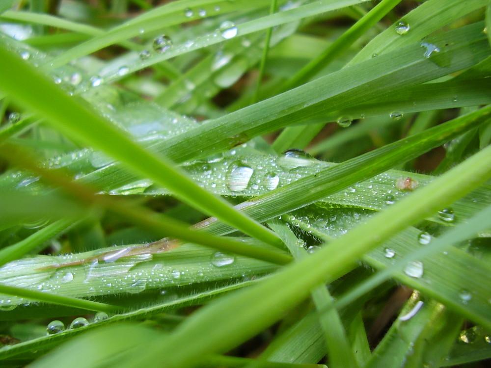 herbe perlée