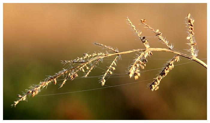 Herbe prise dans la brume matinale