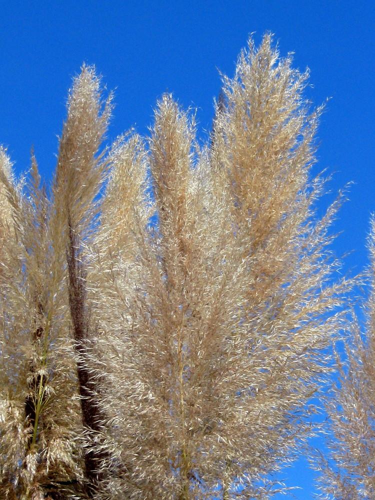 herbes de la pampa