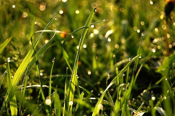 herbes et rosée