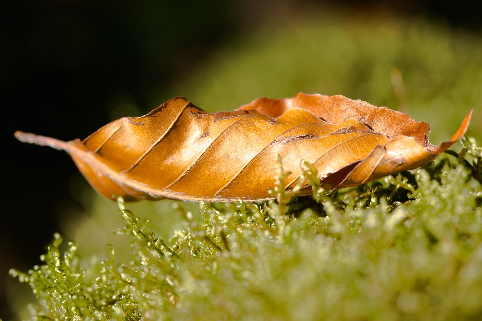 Herbsblatt im Moos