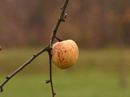 Herbst 1 - Apfel