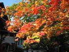 Herbst - Ahornbaum