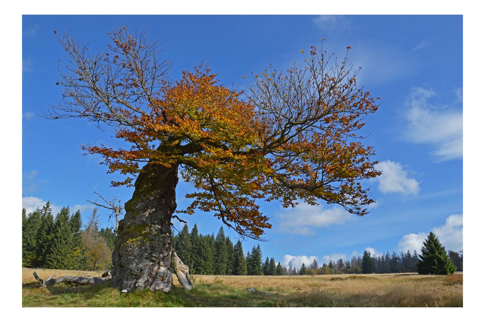 Herbst am Hochschachten im Bayerischen Wald