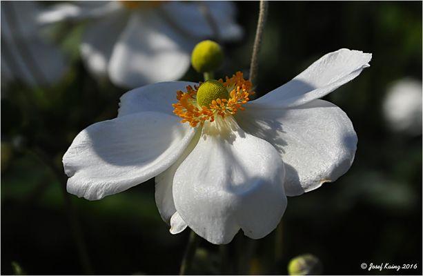 Herbst-Anemone