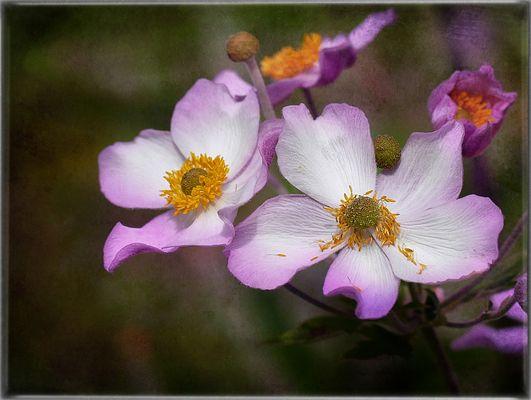 Herbst-Anemonen...