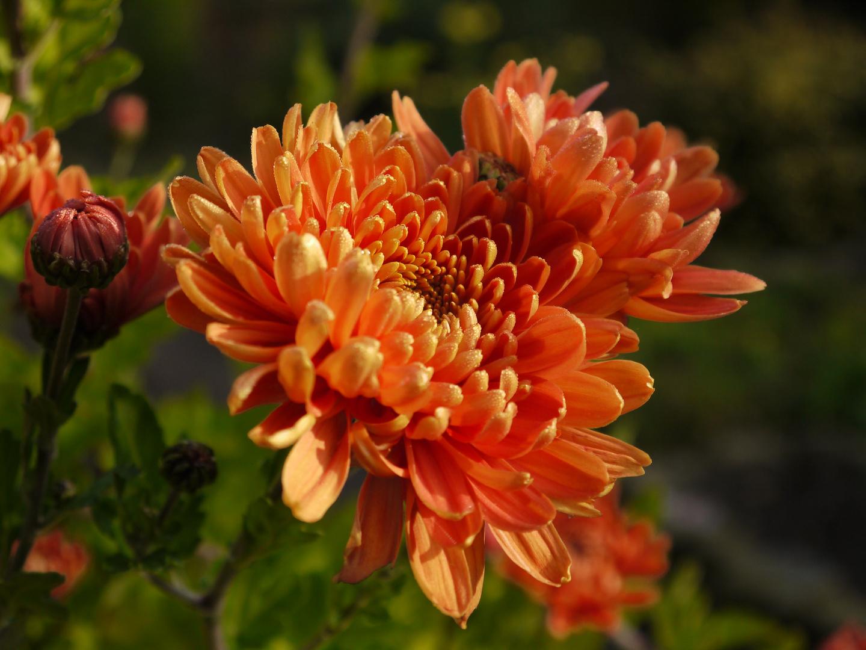 Herbst-Aster im heimischen Garten