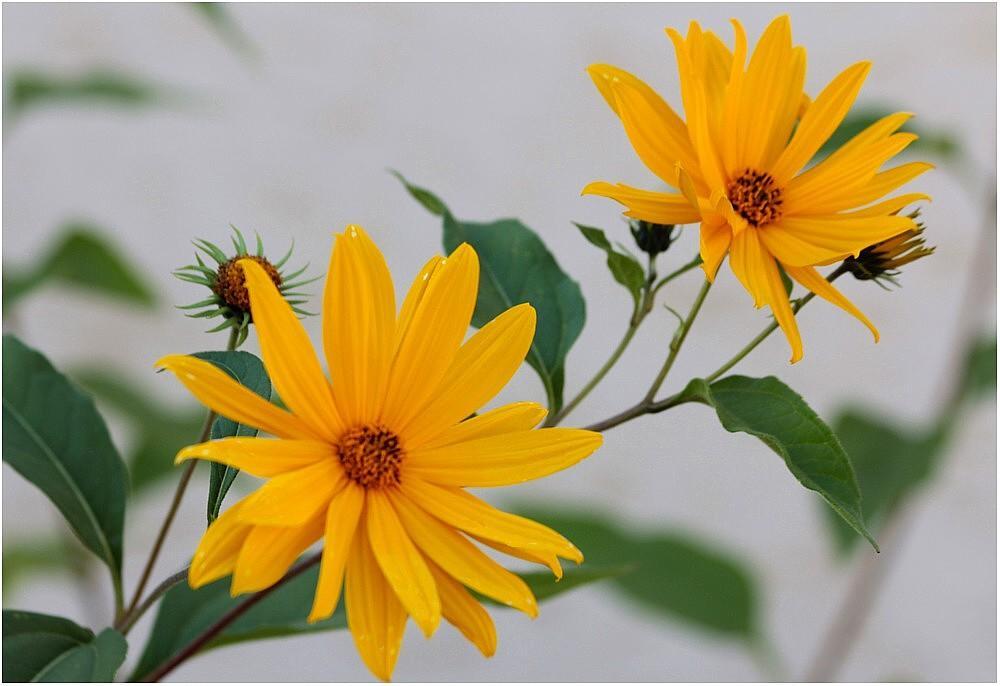 herbst blumen foto bild natur gartenpflanzen und bl ten bl ten kleinpflanzen bilder. Black Bedroom Furniture Sets. Home Design Ideas