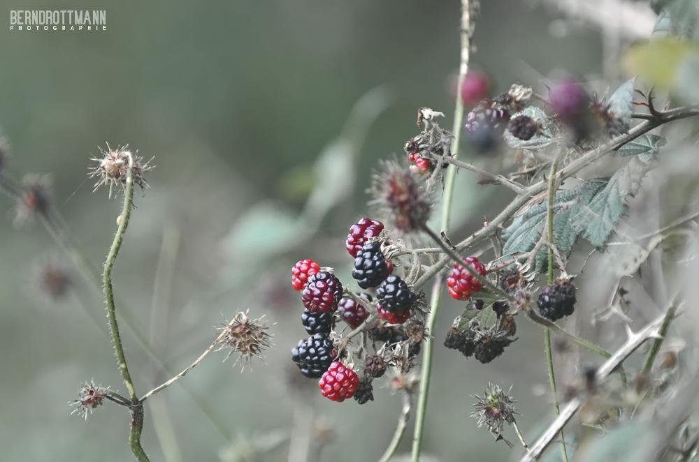 Herbst | Brombeeren