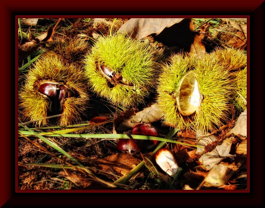 Herbst-Früchte.... (Esskastanien)