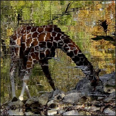 Herbst-Giraffe