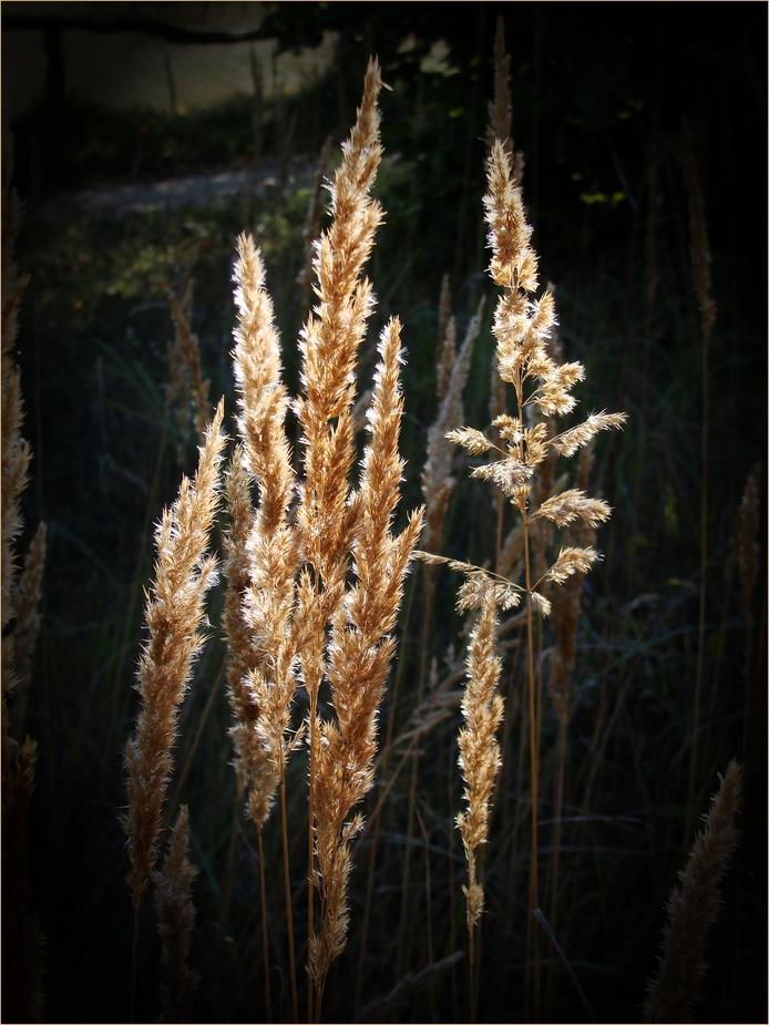 Herbst-Gräser im Gegenlicht......
