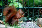 Herbst-Hörnchen