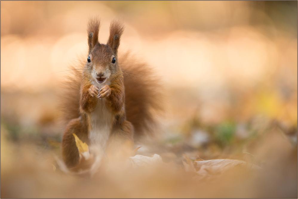 ~ Herbst-Hörnchen ~