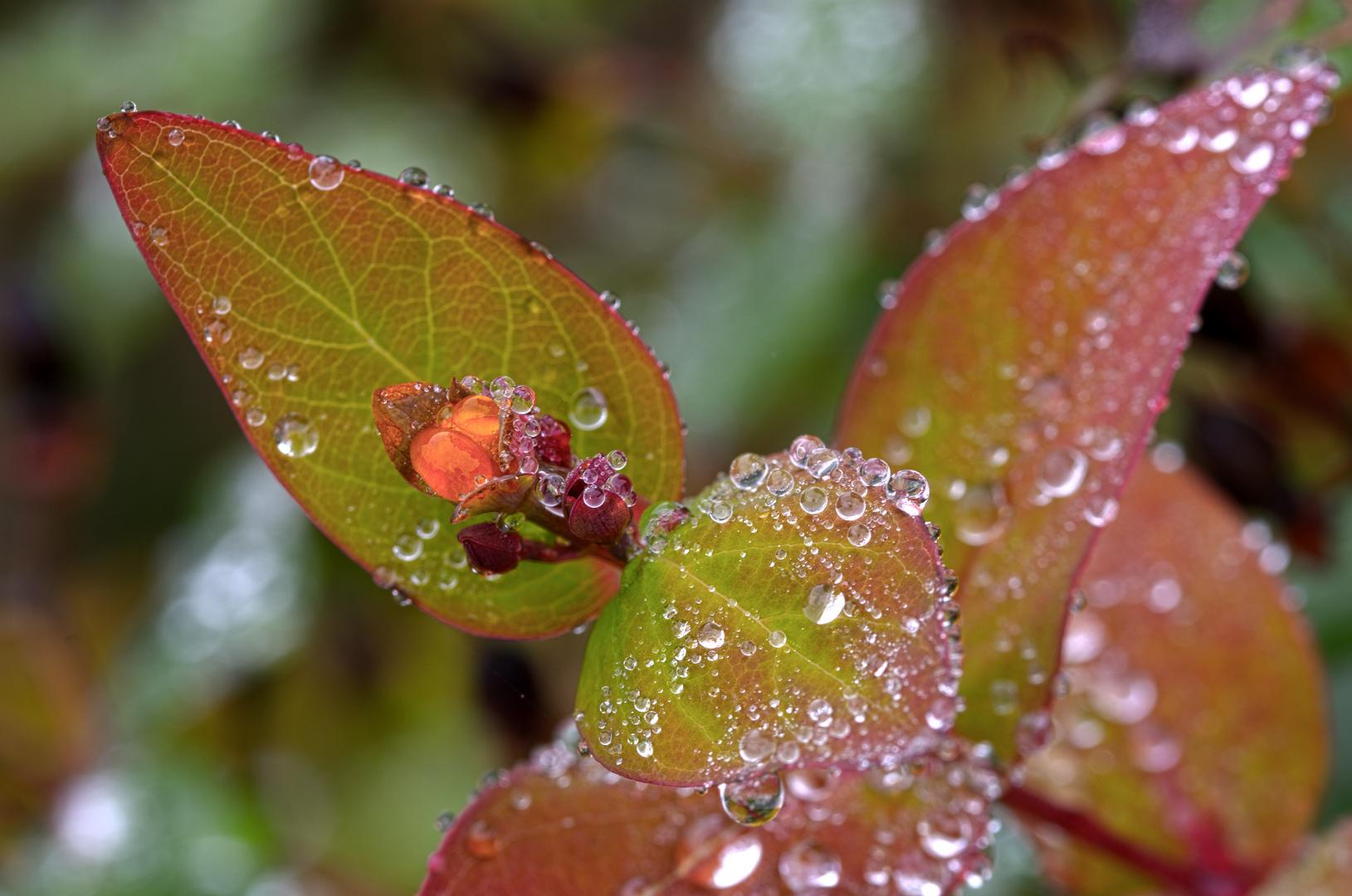 Herbst im Garten - Johanniskraut