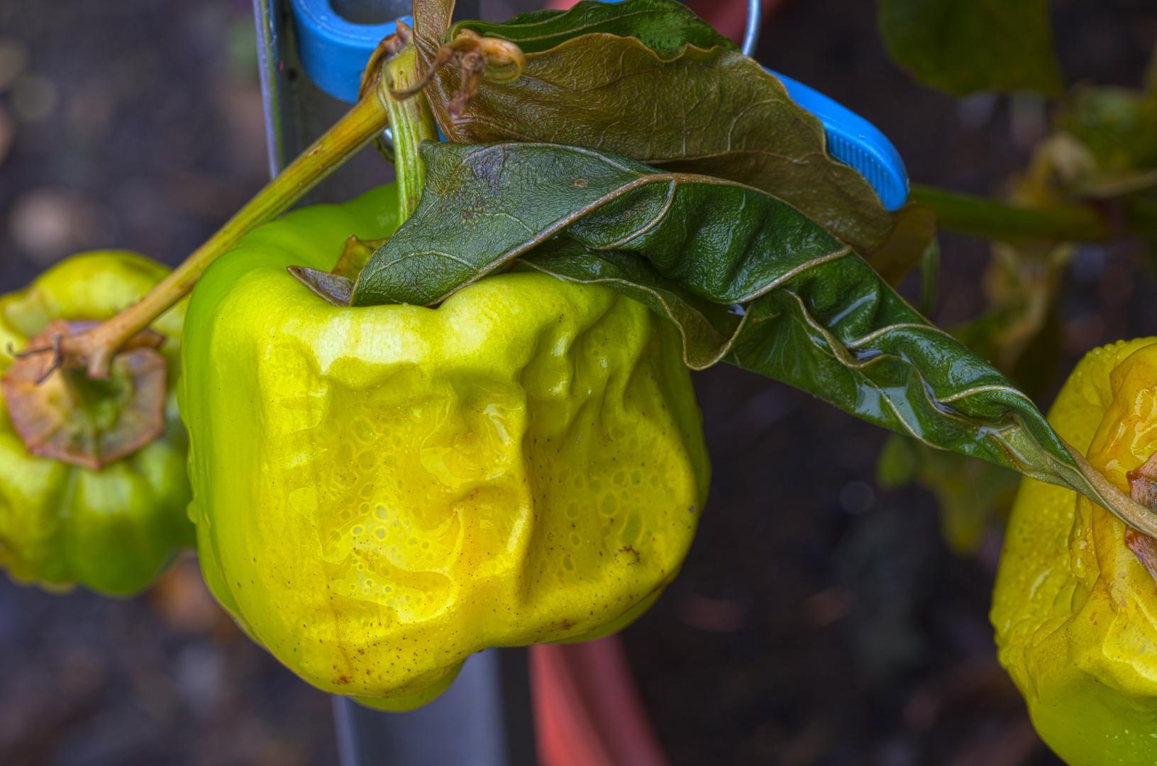 Herbst im Garten - Paprika