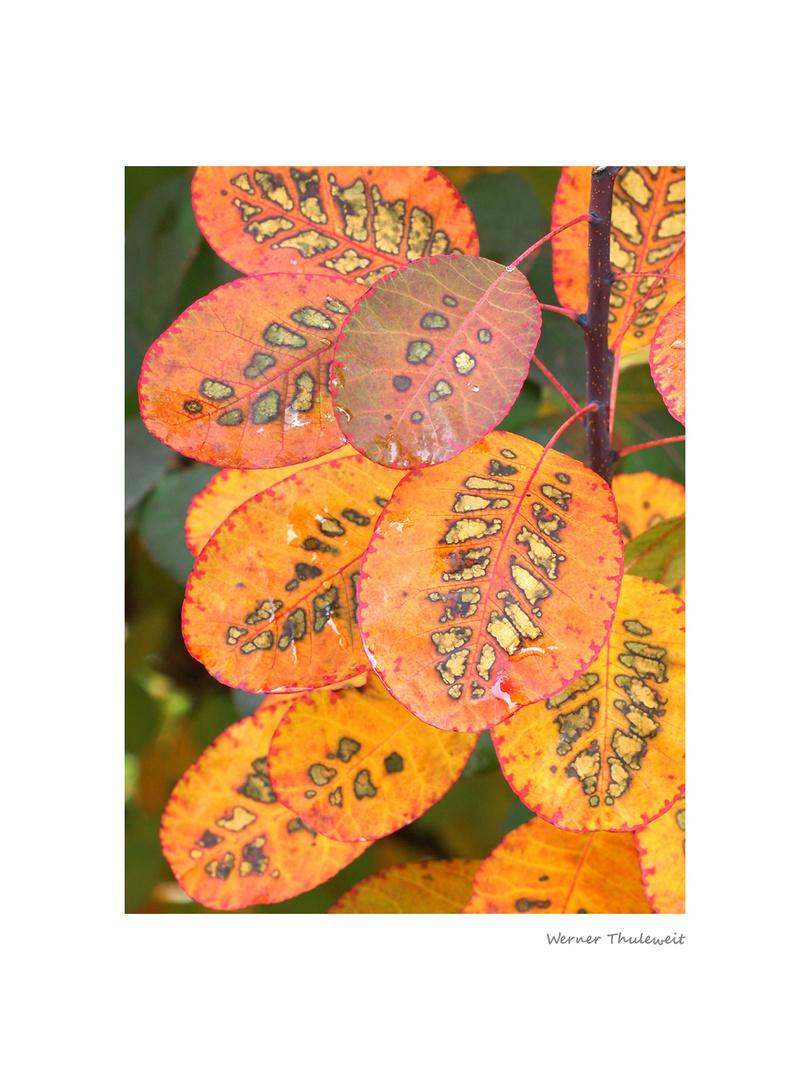 Herbst im Perückenstrauch