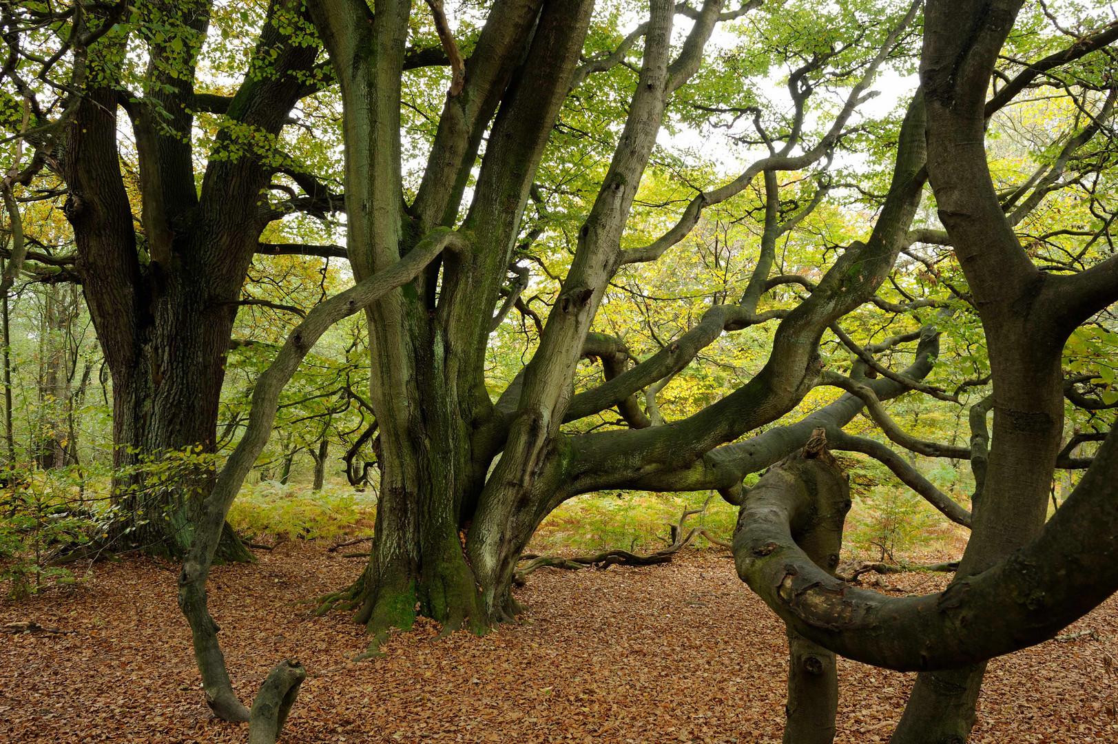 Herbst im Urwald Sababurg