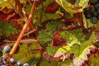 Herbst im Wingert