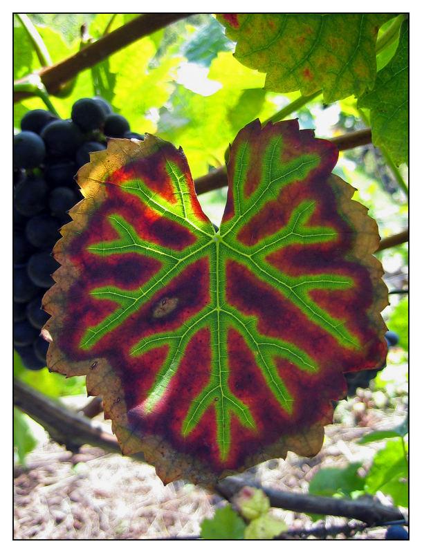 Herbst in einem Pillnitzer Weinberg