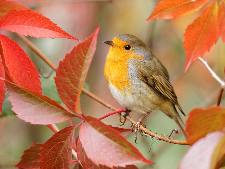 Herbst- Kehlchen