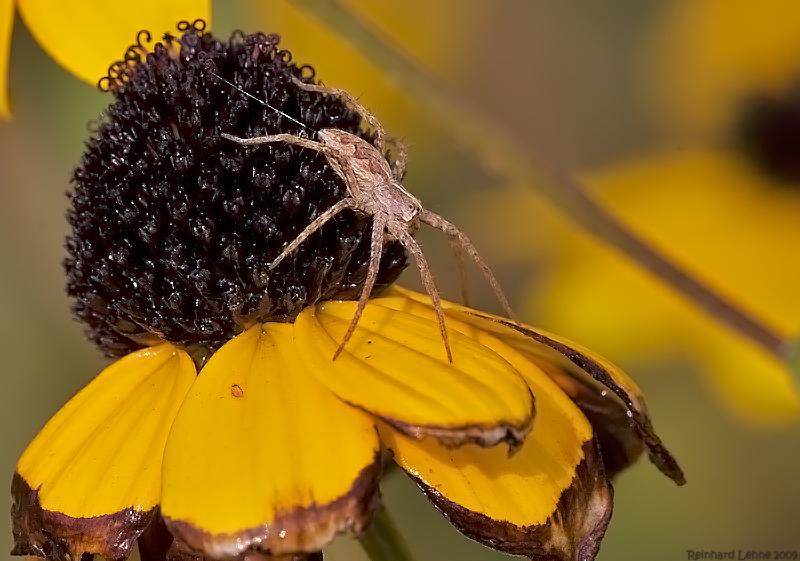 Herbst- Listspinne