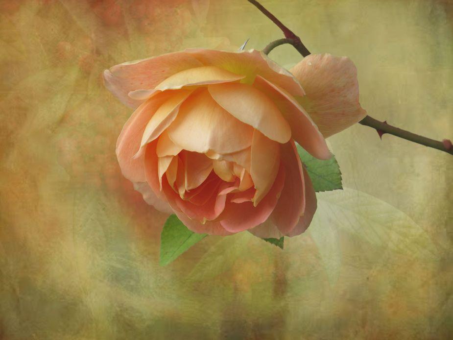 Herbst-Rose..