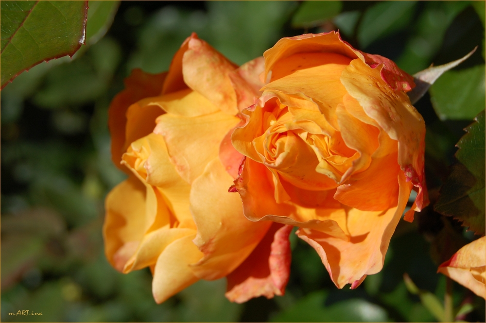 Herbst-Rosen