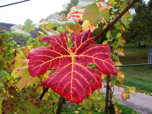 Herbst-Rot