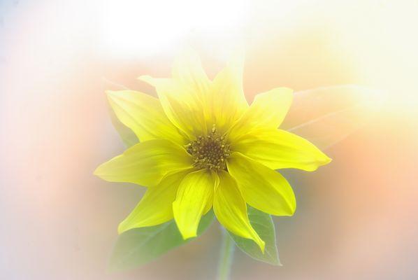 Herbst-Sonnenblume