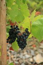 """""""Herbst"""" = Wein"""